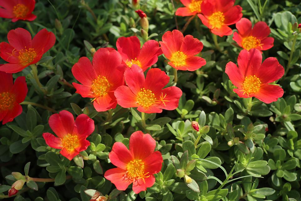 Red Flower, Many, Garden, Nice, Cute, Wild, Green