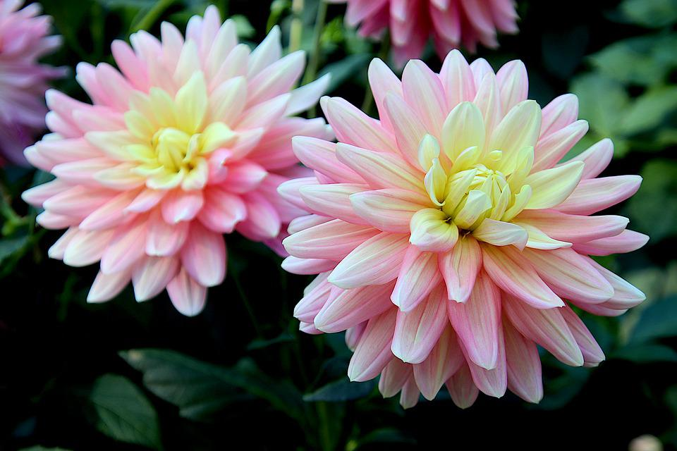 Dahlia, Pink Flowers, Pink Dahlias, Garden