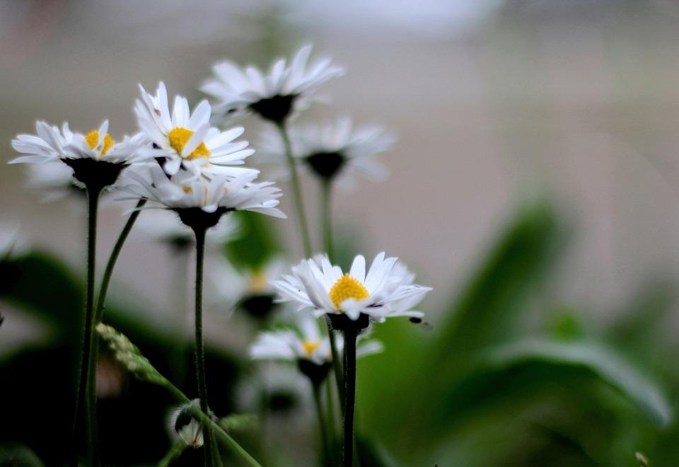 Daisies, White, Nature, Flower, Daisy, Garden