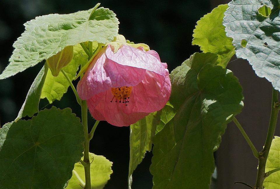 Free photo garden deck flowering maple container plant pink max pixel flowering maple container plant garden deck pink mightylinksfo