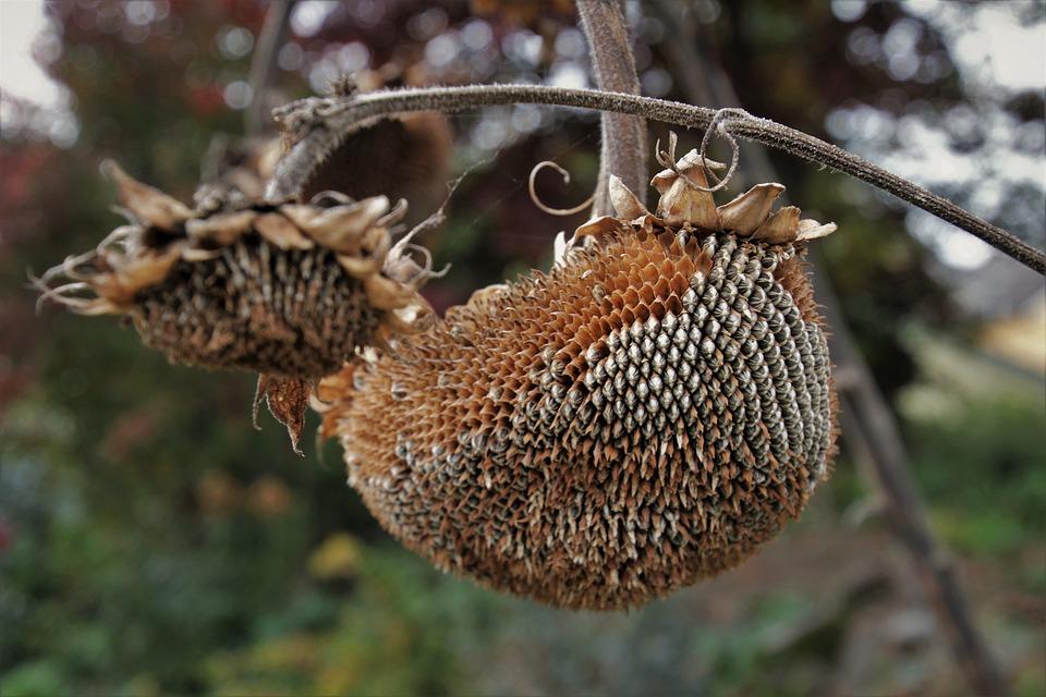 Sunflower, The Stem, Garden, Plant, Dry, Brown, Autumn