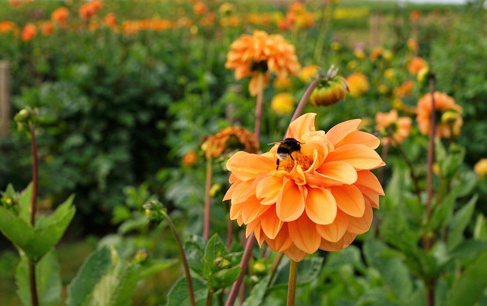 Meadow, Field, Garden, Park, Dahlia, Bee, Honey, Eat