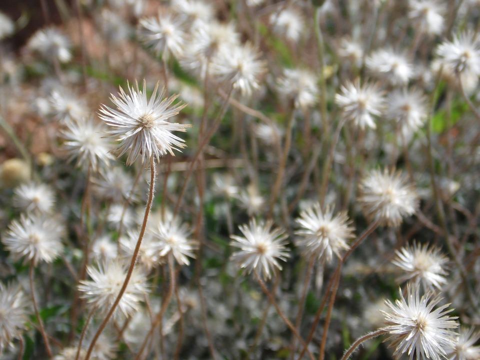 Dandelion, Garden, Flowers, Ecology