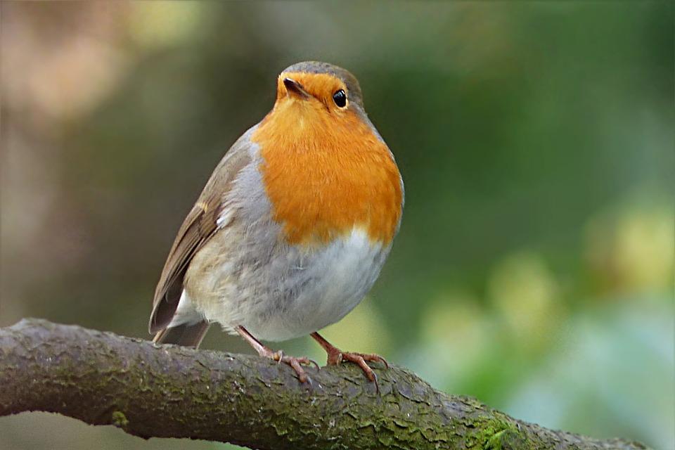 Robin, Erithacus Rubecula, Bird, Winter, Garden
