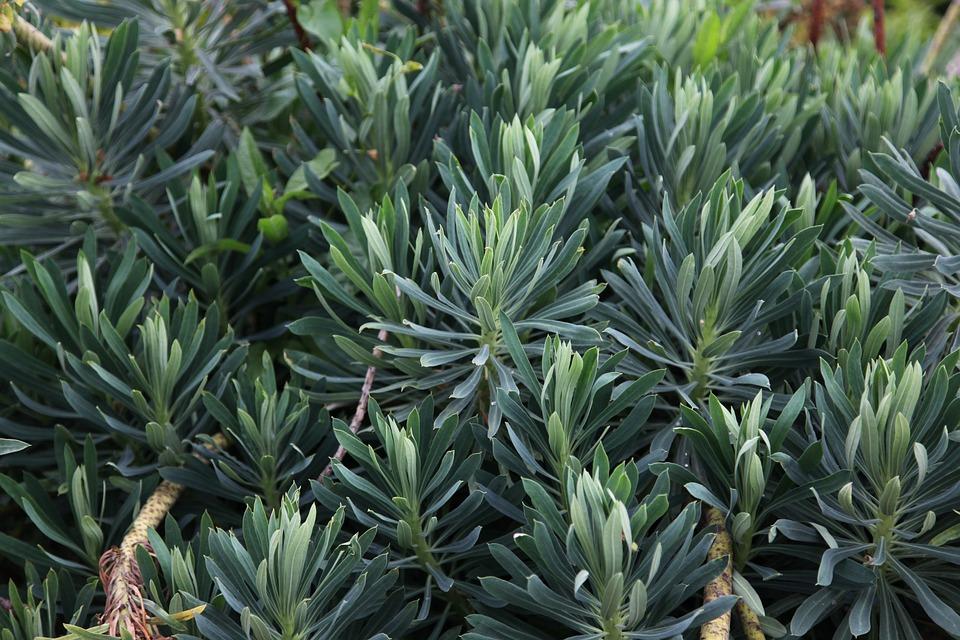 Euphorbia, Plant, Green, Leaf, Garden