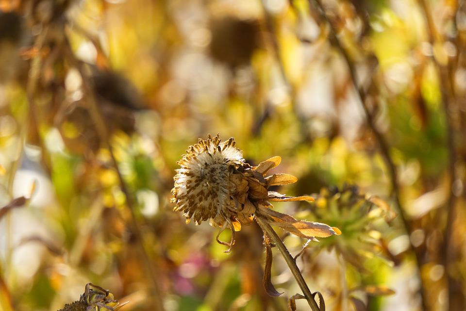Flower, Faded, Autumn, Transient, Withers, Garden