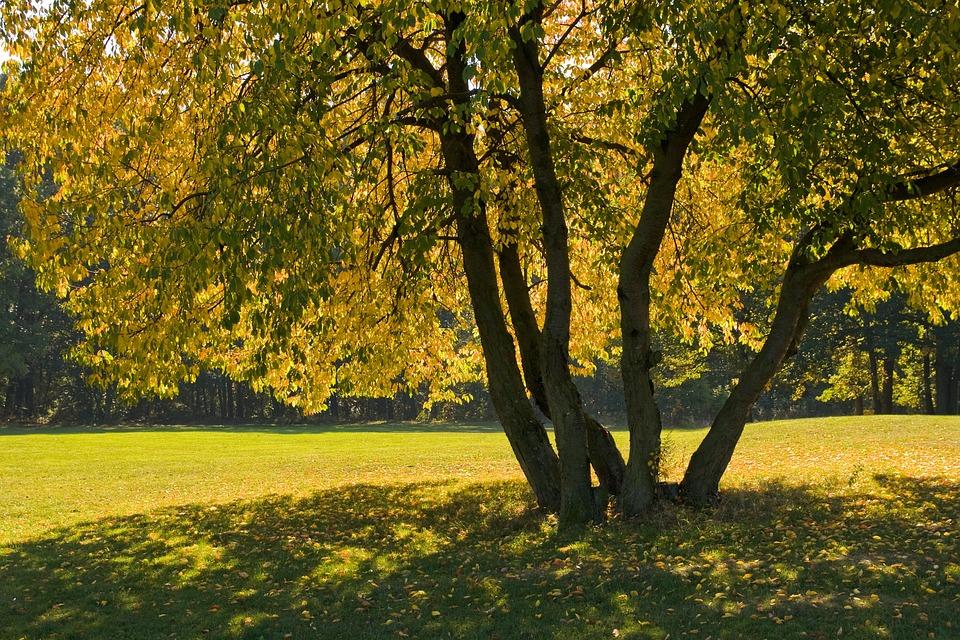 Autumn Tree, Cherry, Colourful Leaves, Fall, Garden
