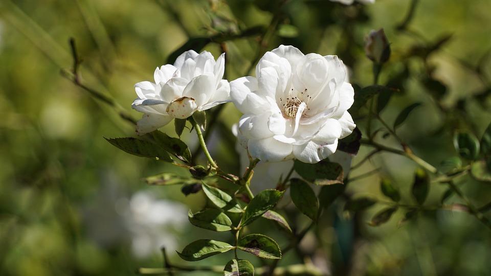 Flower, Flora, Nature, Leaf, Garden, Blooming, Bright