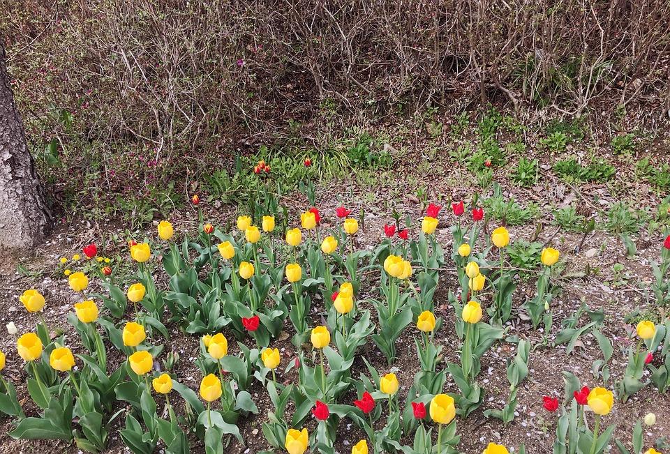 Flower, Nature, Flora, Garden, Leaf, Tulip