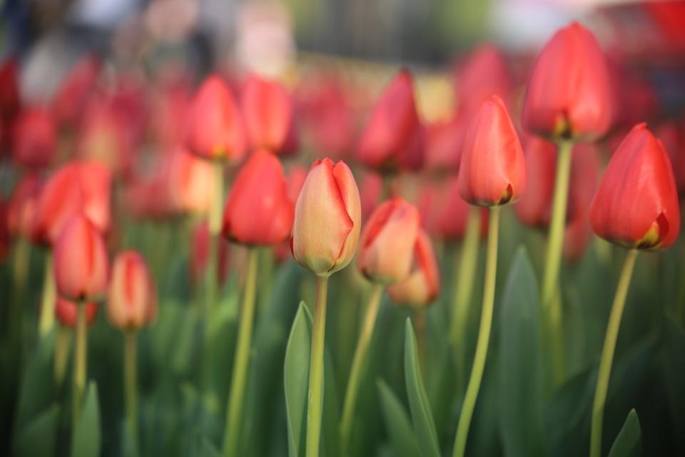Tulip, Nature, Flower, Flora, Garden