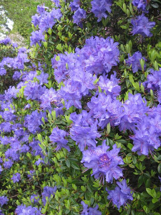 Flower, Garden, Flora, Nature, Summer, Rhododendron