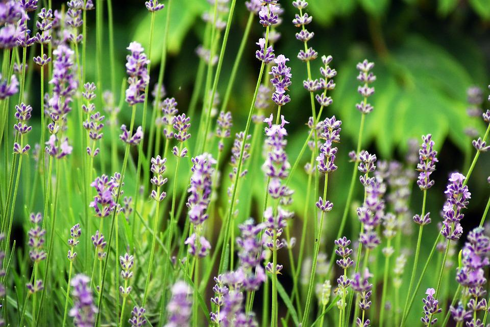 Garden, Flower, Purple, Nature, Floral, Flora, Summer