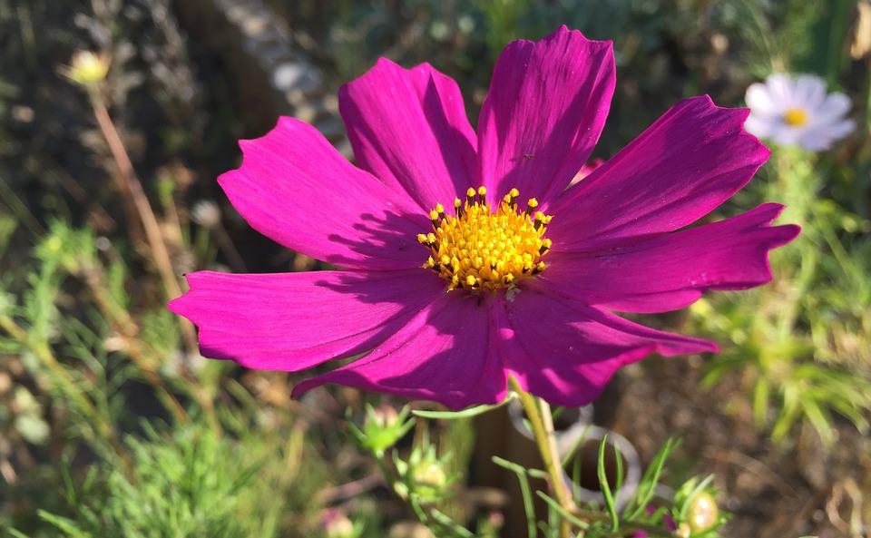 Free photo garden flower autumn pink cosmos flowers garden max pixel cosmos garden flowers garden flower pink autumn mightylinksfo