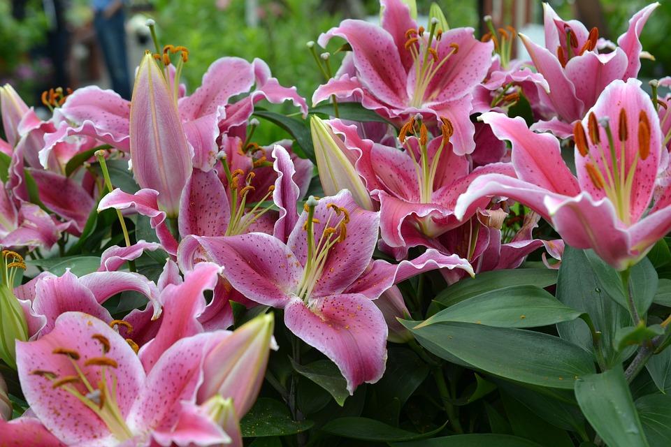 Pink Lily Lilies Flower Bloom Garden