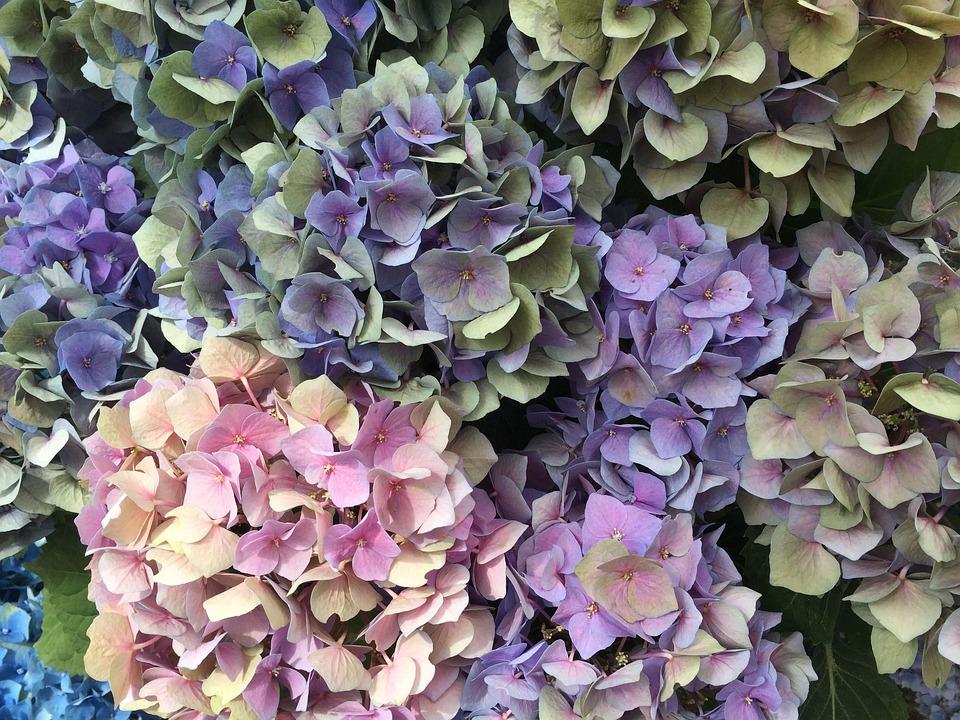 Hydrangeas, Flower, Nature, Plant, Garden, Pink, Bloom