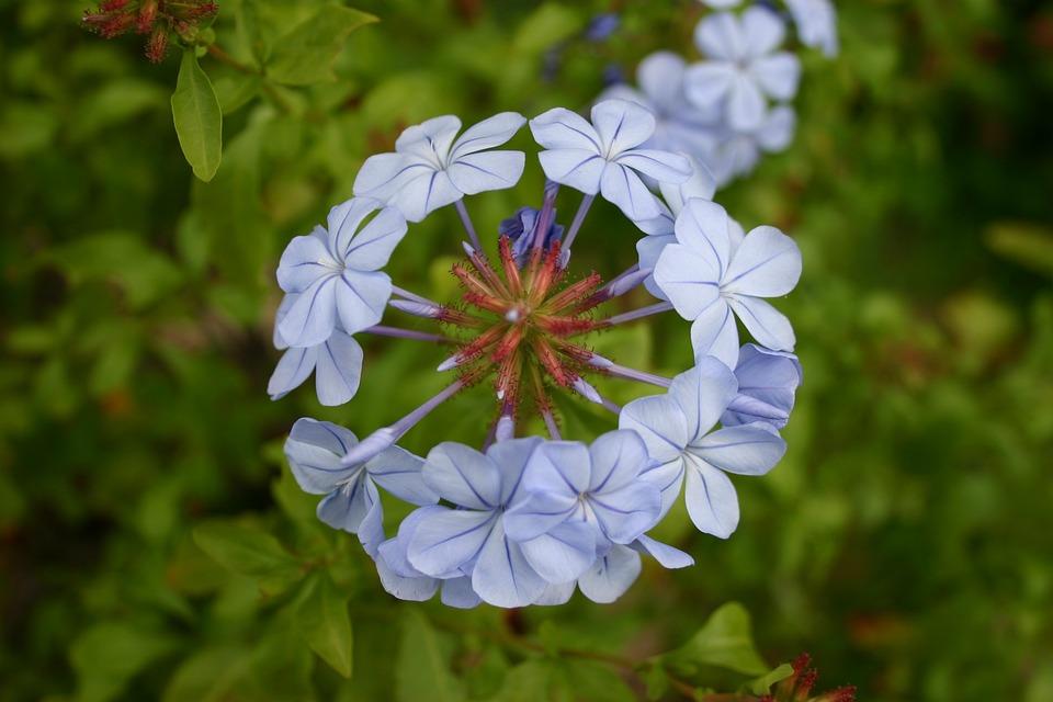 Plumbago, Flower, Blue, Garden