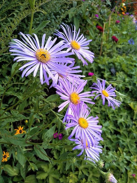 Daisy, Daisies, Purple, Flower, Garden