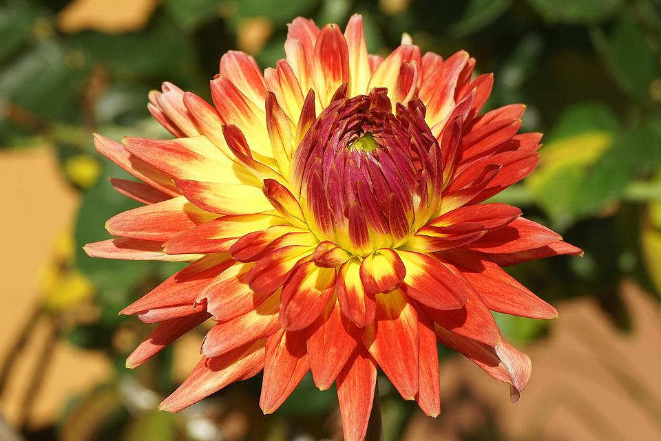 Dalia, Flower, Orange Flower, The Petals, Garden