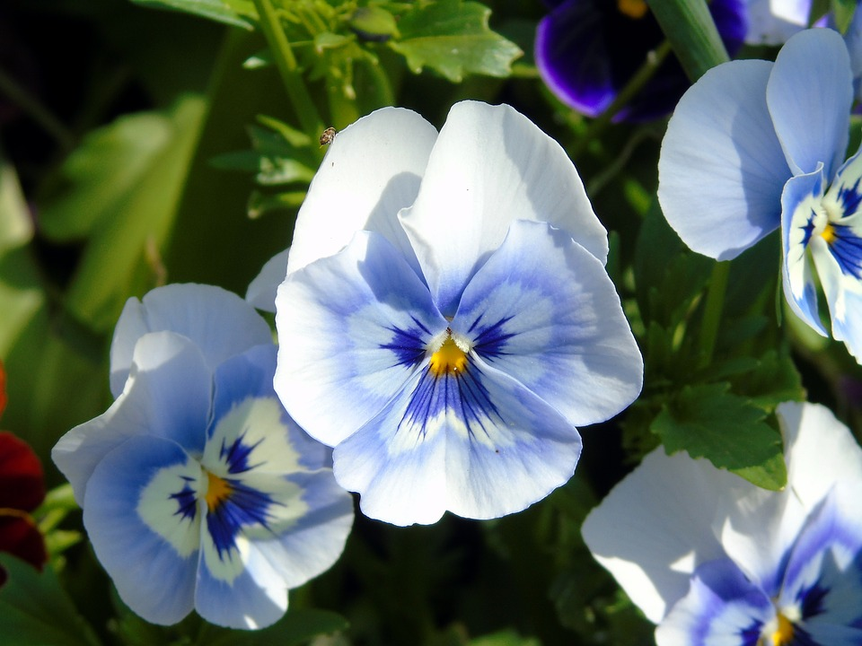 Pansy, Flower, Garden, Nature, Blossom, Plant, Floral