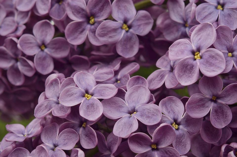 Lilac, Flower, Pink, Purple, Flowers, Garden