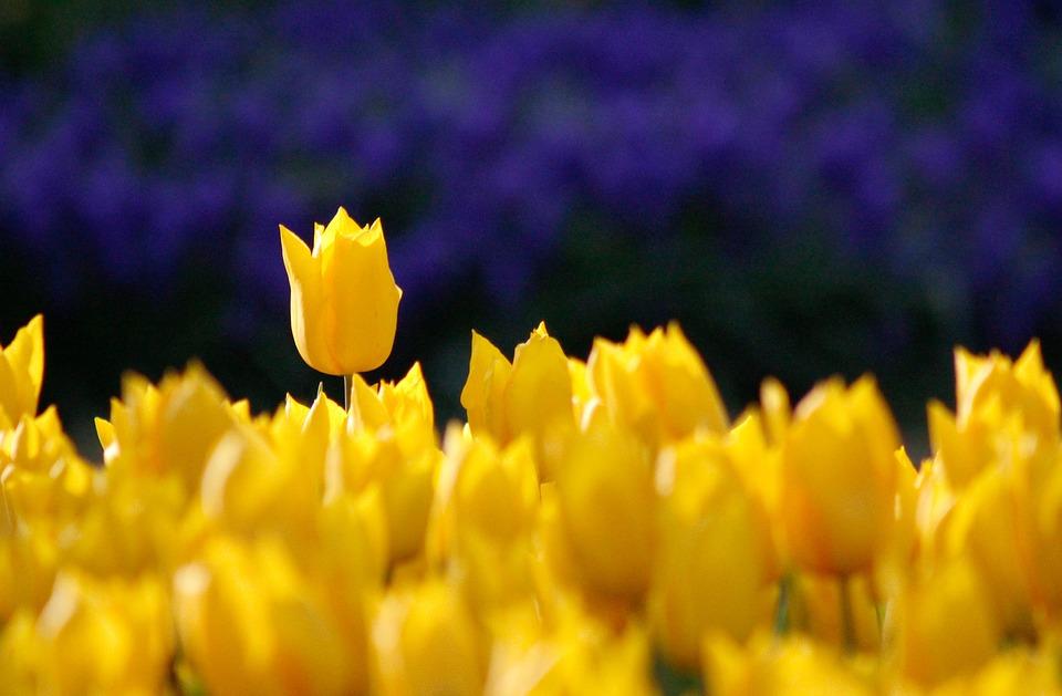 Yellow, Rose, Garden, Garden Plant, Garden Flower