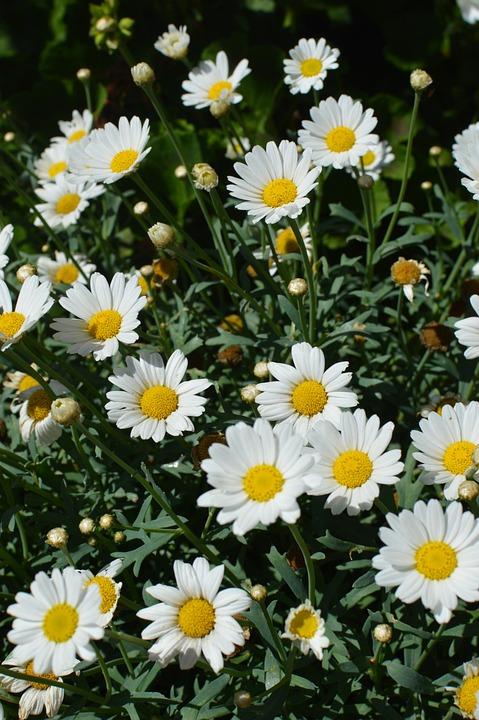 Daisies, Flowers, Summer, Flower Garden, Garden, Plant