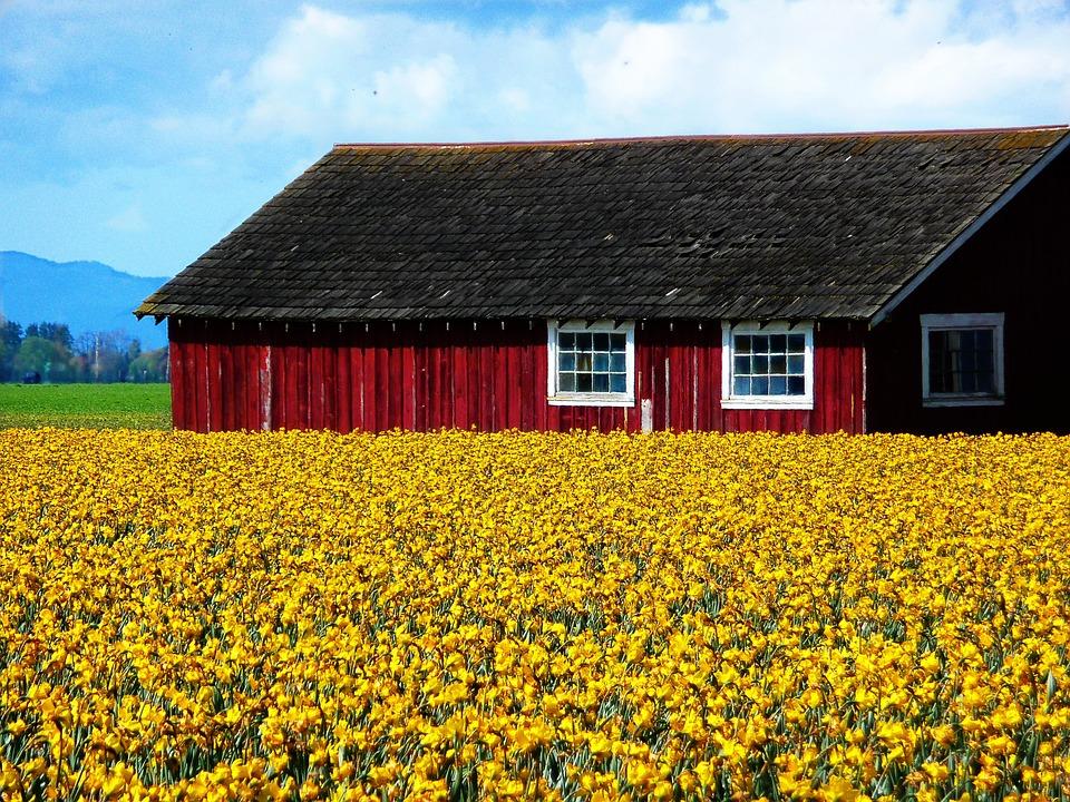 Daffodils, Spring, Flower, Garden, Gardening