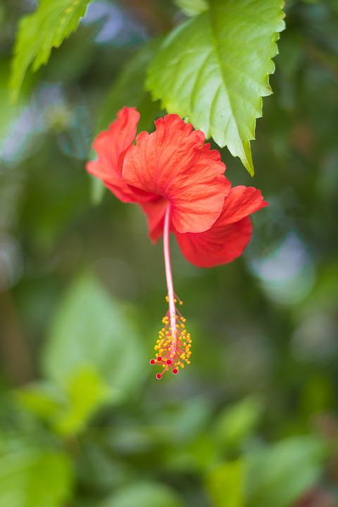 Hibiscus, Flower, Red, Green, Garden
