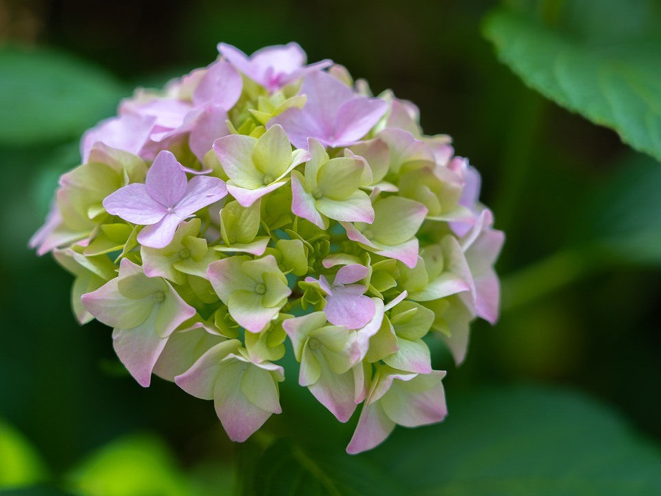 Hydrangea, Hydrangea Flower, Flower, Summer, Garden
