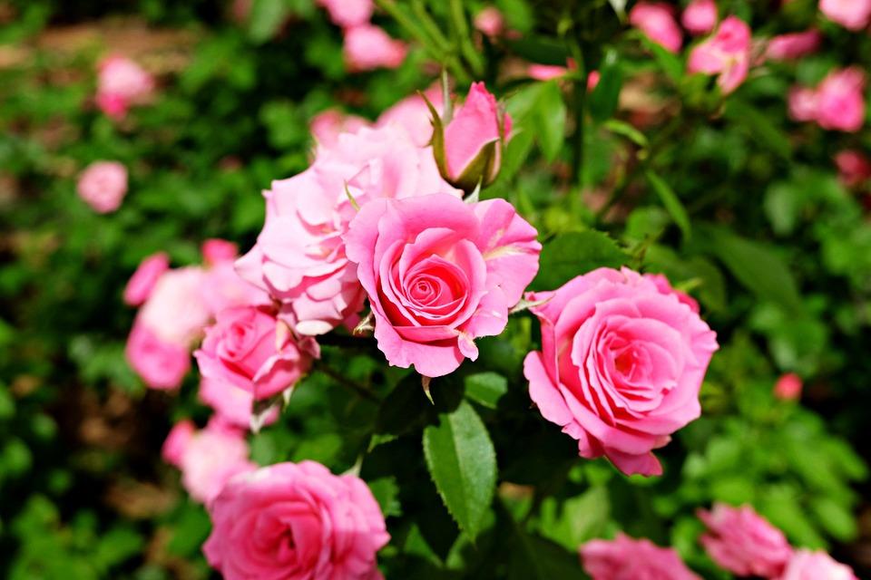 Rose, Garden, Flower, Longwood Garden