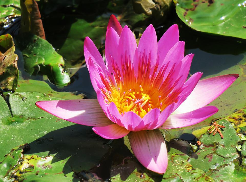 Free Photo Garden Flower Lotus Plant Pond Aquatic Plants Max Pixel