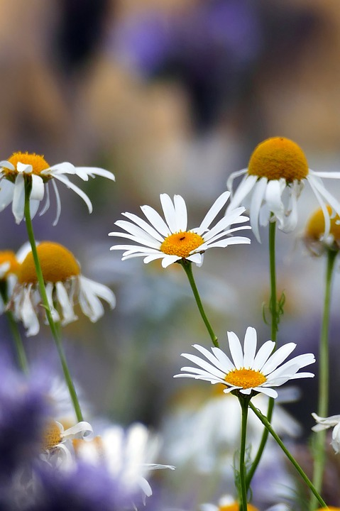 Marguerite, Flowers, Flower Meadow, Garden, Nature