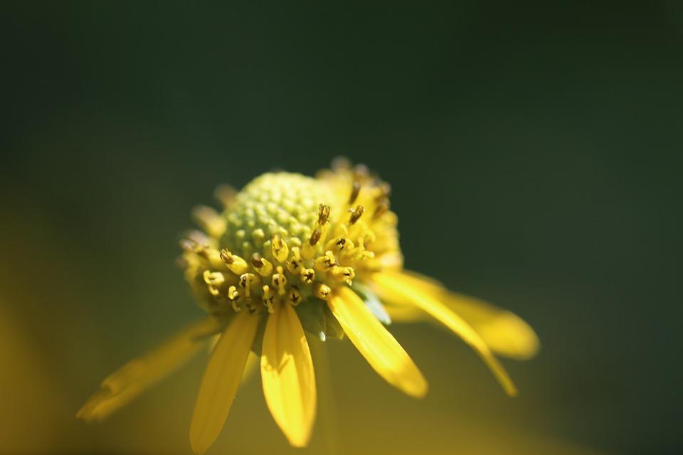 Flower, Nature, Flora, Yellow, Garden, Closeup, Summer