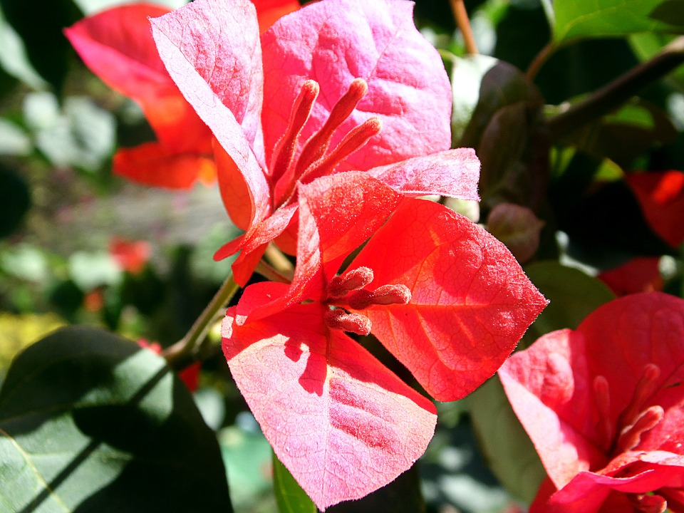 Red Flower, Flower, Flowers, Garden, Nature