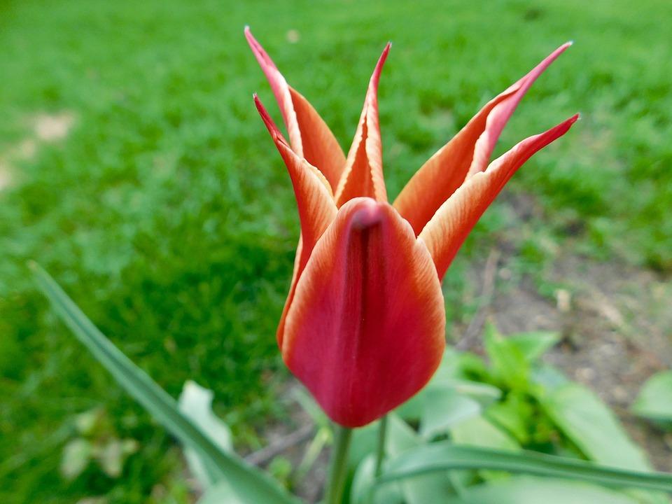 Star, Tulip, Flower, Blossom, Spring, Garden, Nature