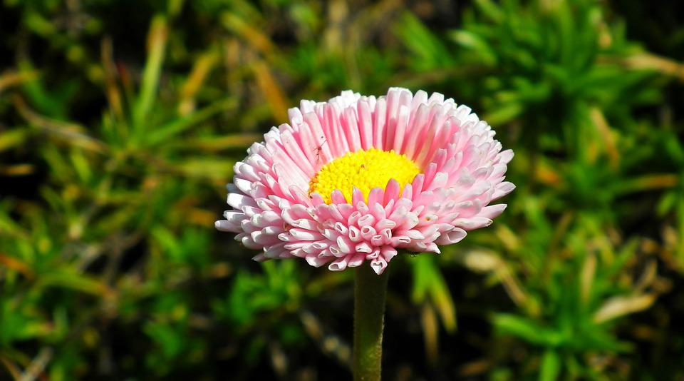 Daisy, Flower, Pink, Summer, Garden, Nature