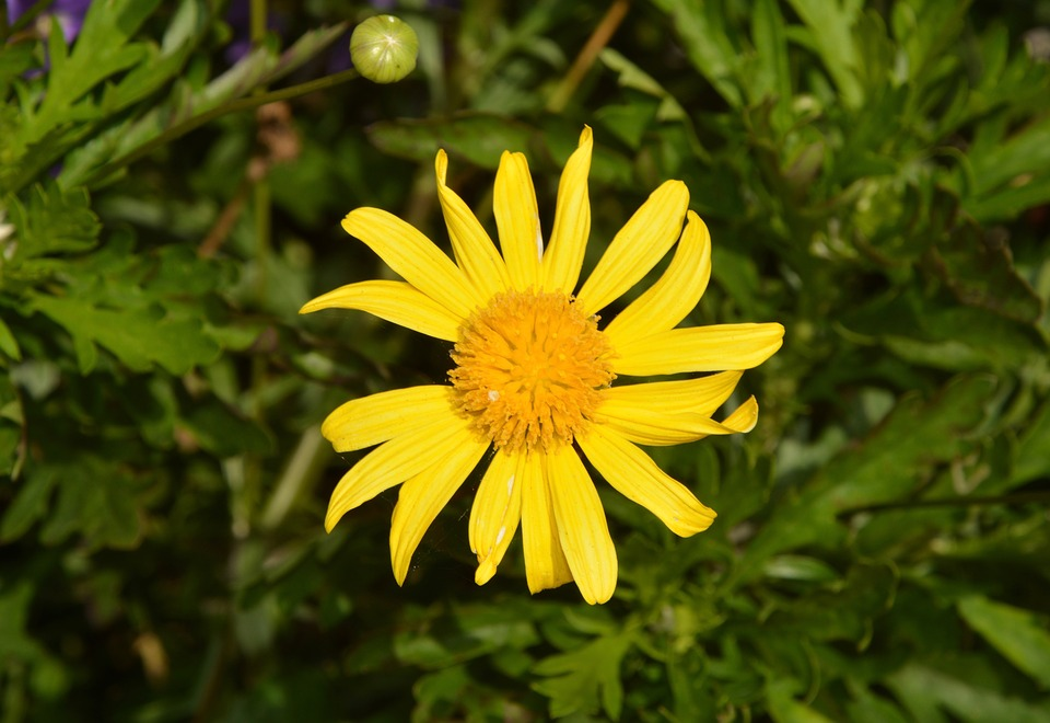Flower, Marguerite, Yellow, Petals, Garden, Nature
