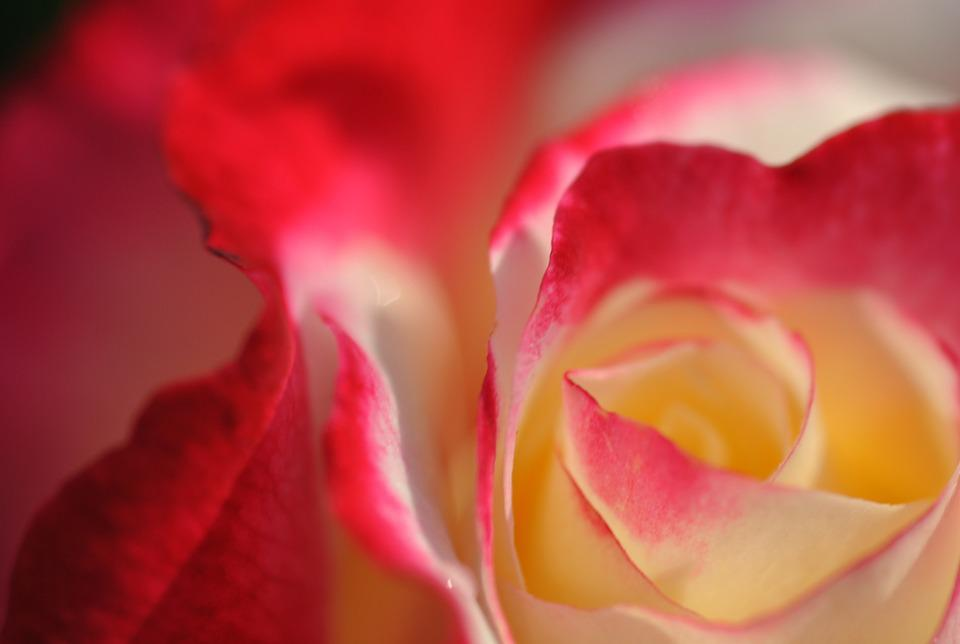 Rosa, Flower, Garden, Nature, Petals, Bloom, Summer