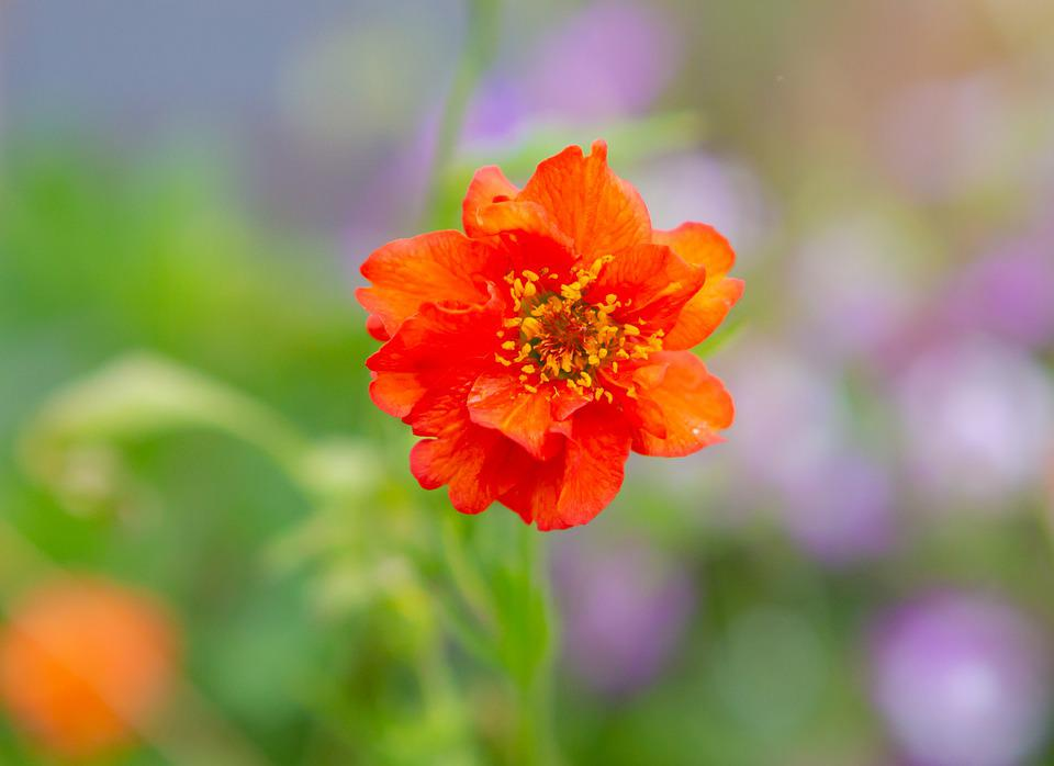 Flower, Plant, Garden, Dahlia