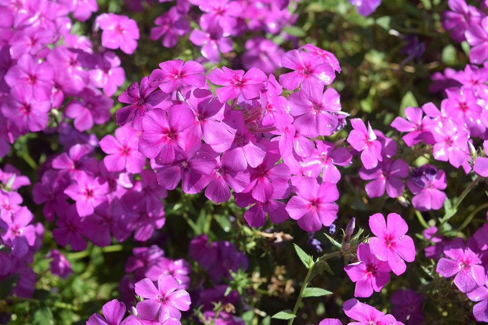 Garden Flower, Purple, Flowers, Chiang Mai Thailand