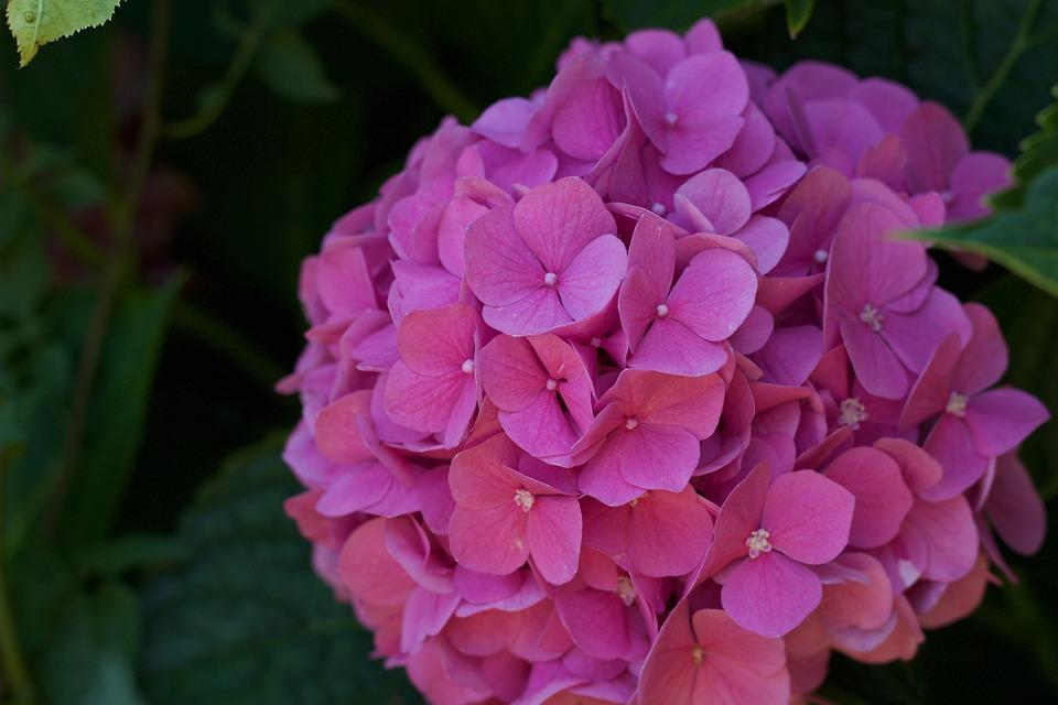 Flower, Nature, Hydrangea, Rose, Summer, Garden, Petal