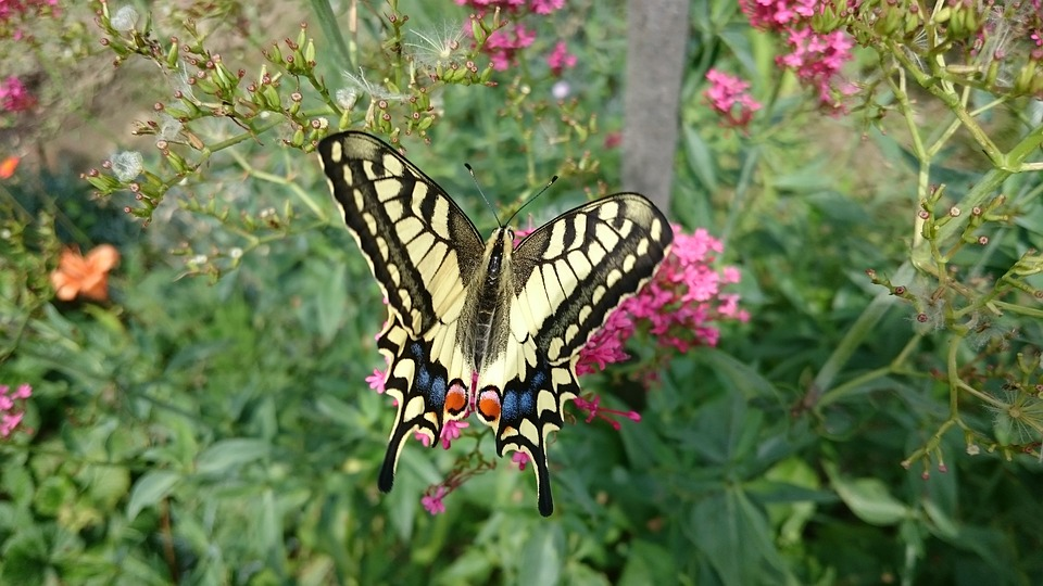 Butterfly, Swallowtail, Nature, Insect, Flower, Garden