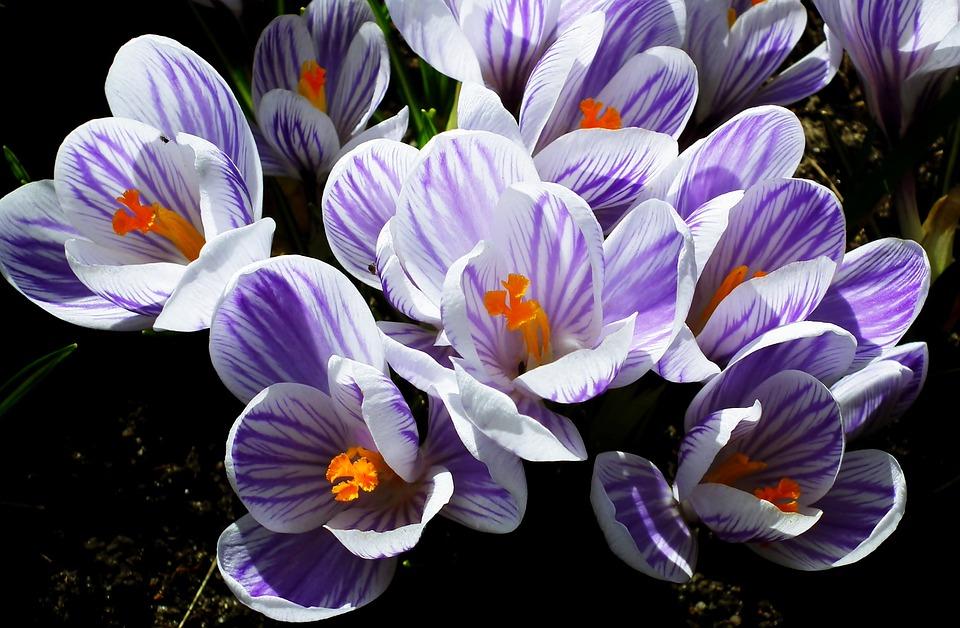 Crocus, Flowers, Spring, Krokus, Plants, Garden