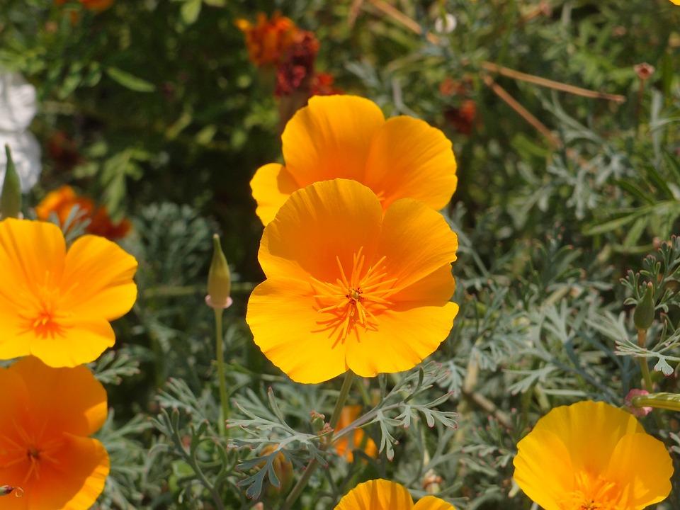 Flowers, Garden Flowers, Flower Bed, Eschscholzia