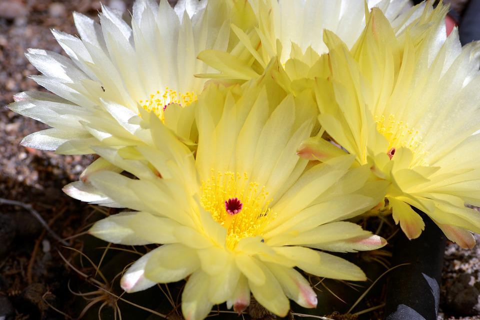 Free photo garden flowers flowering cactus spring cactus max pixel cactus garden spring flowering cactus flowers mightylinksfo