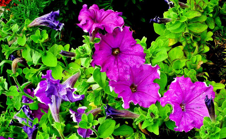 Petunias, Flowers, Summer, Garden, Nature, Violet