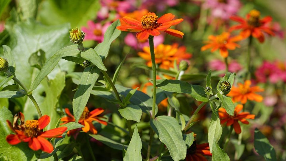 Flowers, Nature, Plants, Summer, Garden