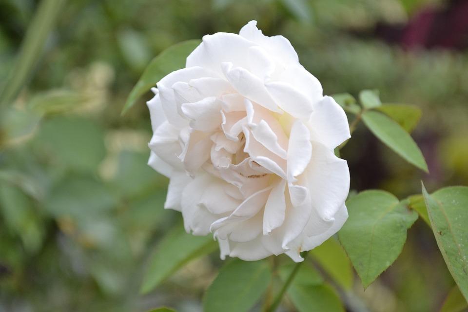 Flowers, Rosa, Herbs, Nature, Garden