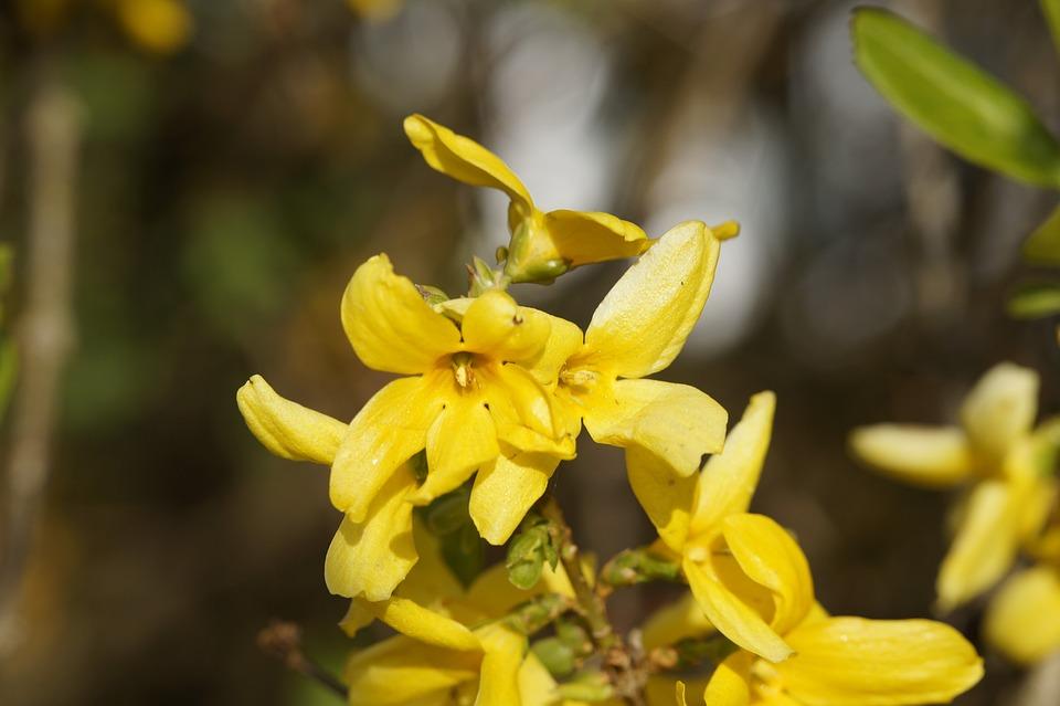 Forsythia, Garden Forsythia, Flowers, Forsythia Flowers