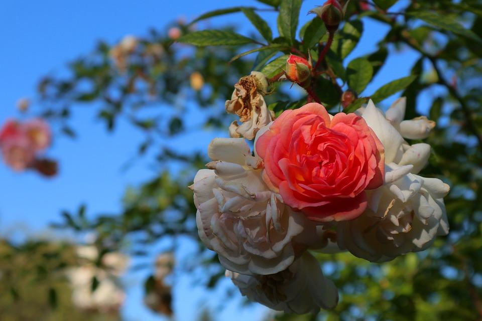 Rose, Blossom, Bloom, Tender, Garden, Summer, Fragrance